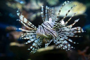 Indo-Pacific lionfish