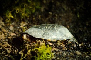 Spotted_Turtle